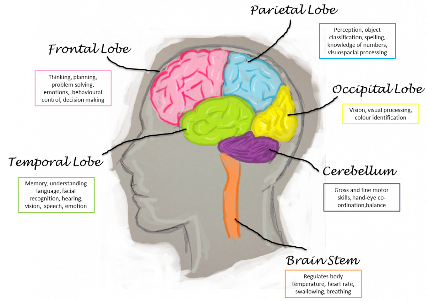 Human Brain Parts And Their Functions