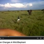 Idiot captured on video camera charging at Elephant!