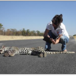 Tragic death of a leopard on the road in Northern Limpopo