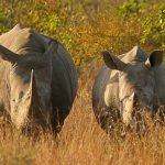 US embassy joins the fight against rhino poaching in the Free State