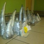 36 Suspects arrested within 3 weeks for rhino poaching