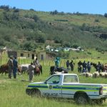 Cross-Border stock theft in Eastern Cape addressed in Operation Maluti 2016