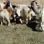 Arrests made and livestock recovered by Kokstad Stock Theft Unit