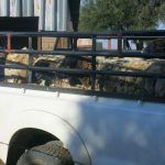 18 Stolen sheep recovered and stock theft suspects arrested in Northern Cape