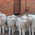 Two suspicious canopied vans stopped and 36 stolen sheep recovered