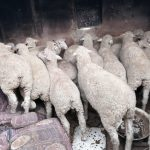 Seven suspects to appear in court, stolen livestock recovered in the North West